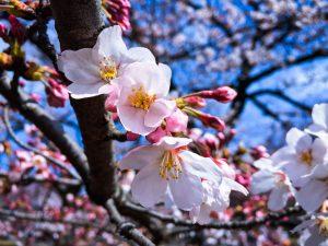 Tokyo fleur